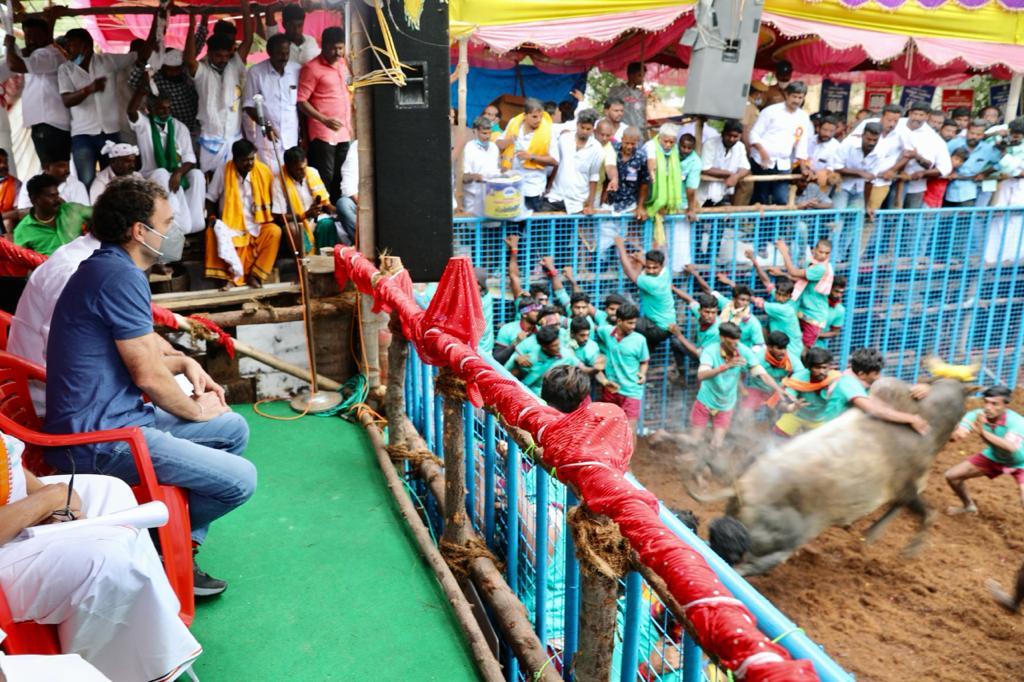 राहुल ने देखा जलीकट्टू का आयोजन, बोले- तमिल कल्चर देश के लिए अहम