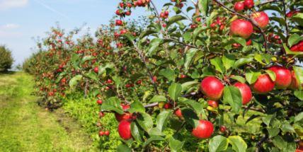 फल पकने से पहले ही बिक जाता है ये सेब-कौन सी प्रजाति का है ये सेब. क्या है खासियत जानिये