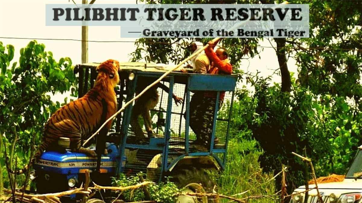 पीलीभीत टाइगर रिजर्व को मिला अंतर्राष्ट्रीय अवार्ड, महज 4 साल में बाघों की संख्या 25 से बढ़कर हुई 65
