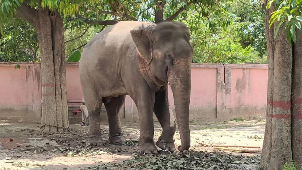 वाराणसी के मिट्ठू हाथी पर दफा 302 का मुकदमा, बेड़ियों में है कैद