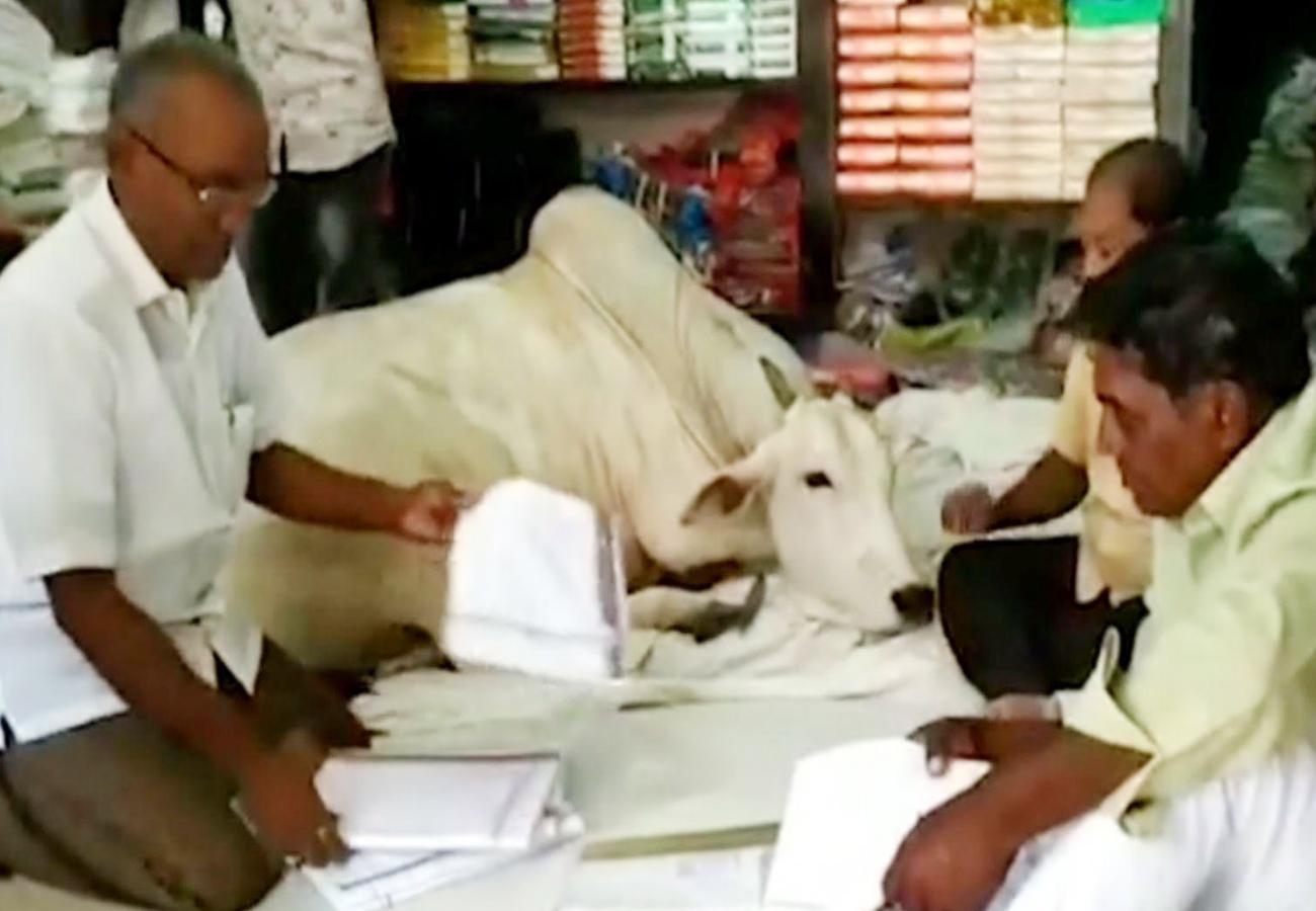 शोरूम में बैठने वाली गाय ने बढ़ाई बिक्री, आंध्र प्रदेश में चर्चा का केंद्र बनी ये दुकान